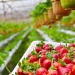 В Эстонии фермеры попросили министра вернуть украинцев на клубничные плантации
