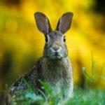 В США от нового вируса массово гибнут зайцы и кролики