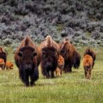 В США судят двоих мужчин: на мотоциклах гоняли бизонов в Йеллоустоуне