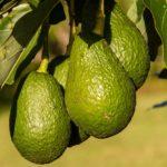 В США отзывают из магазинов калифорнийские авокадо из-за угрозы заражения опасными бактериями